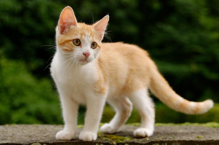 Un collier anti puce chat pour le proteger des parasites